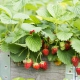Erdbeerpflanzen im Hochbeet – Bernhard Hahner